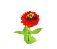 Red flower (Helenium autumnale) Royalty Free Stock Photos