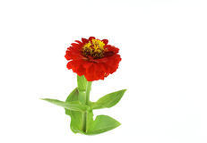 Red flower (Helenium autumnale) Stock Image