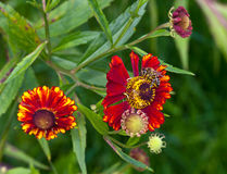 Free Red Flower Helenium Autumnale Royalty Free Stock Photography - 85520677