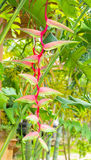 Red flower. Heliconcia Flower hanging in Thailand Royalty Free Stock Photo