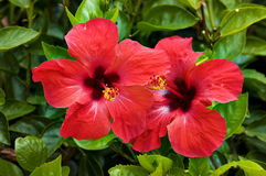 Red flower of hibiscus Royalty Free Stock Photos