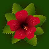 Red flower of hibiscus Royalty Free Stock Image