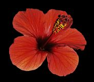 Red flower of a Hibiscus on an isolated black background with clipping path. Closeup. No shadows. Royalty Free Stock Photos