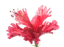 Red flower hibiscus Royalty Free Stock Images