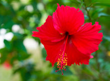 Red flower Hibiscus Stock Image
