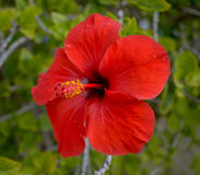 Red flower of hibiscus Stock Images