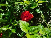 Red flower hidden among a bunch of green leaves at sunlight Royalty Free Stock Photography