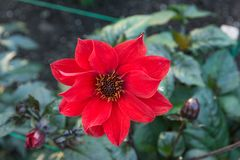 Red flower in home garden stock image