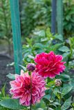 Red flowers in home garden. Red flower in full bloom in home garden on a sunny summer day royalty free stock photos