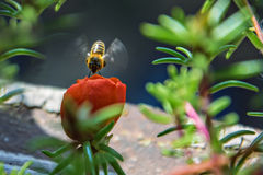 Red flower and honey bee in flight Stock Photography
