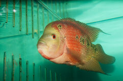 Red Flower Horn Fish in Aquarium Stock Photos
