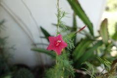 Red flower of Ipomoea quamoclit stock image