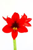 Red flower isolated Stock Photography