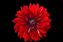 Red flower isolated on a black background. Dahlia. Stock Image
