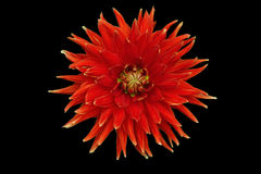 Red flower isolated on a black background. Dahlia. Stock Images