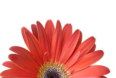 Red flower isolated over white. Bright red flower isolated over white Royalty Free Stock Photo