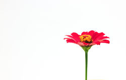 Red Flower isolated on white background Stock Photos