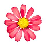 Red flower isolated on white background. Beautiful blossom with yellow pollen. Clipping path royalty free stock image