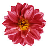 Red flower on  isolated white isolated background with clipping path.  Closeup. Beautiful  Bright red  flower for design. Dahlia. Royalty Free Stock Photography