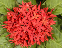 Red flower of ixora chinensis Royalty Free Stock Photos
