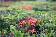 Red flower Ixora in garden in Thailand stock photo