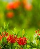 Red flower Ixora Royalty Free Stock Photo