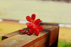 Red flower. The Jasmine flowers with leaves Royalty Free Stock Photography