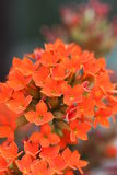 Red flower kalanchoe Stock Images