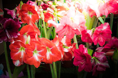 Red flower with latin name Amaryllis Stock Photo