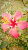 Red flower. In lawn beauty in nature Stock Photo
