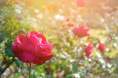 Red flower with lighting on blurred background in garden stock photography