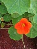 Red Flower LilyPad vine outdoors garden yard lawn tropical. Red flower growing in my yard bright red orange flower green grass lawn garden bright orange Stock Photos