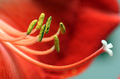 Red flower macro Royalty Free Stock Images