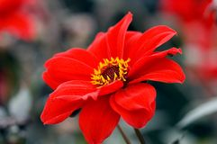 Red flower macro. Macro of a bright red flower Royalty Free Stock Images