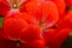 Red flower macro shot Stock Image
