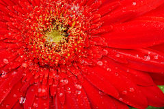Red flower macro with water droplets Royalty Free Stock Image