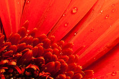 Red flower macro water drops