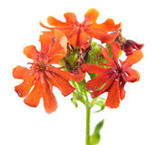 Red flower of Maltese Cross plant or Lychnis chalcedonica isolated on white. Background Royalty Free Stock Photos