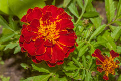 Red flower Marigold Royalty Free Stock Photography