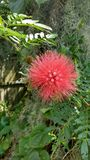 Red flower. A red Mimosa flower, Sarasota Florida royalty free stock photo