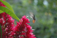 Red flower Mockingbird Stock Images