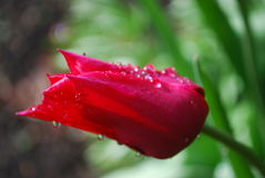 Red flower with morning dew. Close up red flower with morning dew  with a green and black background Stock Photography