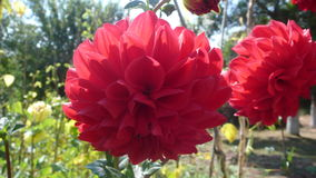 Red flower. Mudanya red flower Stock Photography