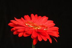 Red flower. N composition macro witg ring stock photo