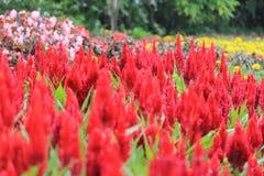 Red flower. Nusantara park bogor Royalty Free Stock Photography
