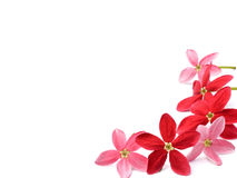 Red Flower Of Rangoon Creeper On White Background Stock Images