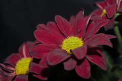 Free Red Flower On Black Background Royalty Free Stock Image - 145164856
