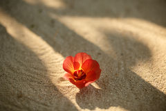 Free Red Flower On The Beach On A Tropical Island. Royalty Free Stock Photos - 97479938