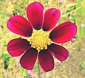 Red flower. One red flower royalty free stock photo