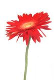 Red flower over white Stock Photo